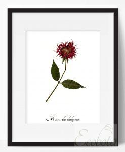 bee-balm-herbarium-art-print
