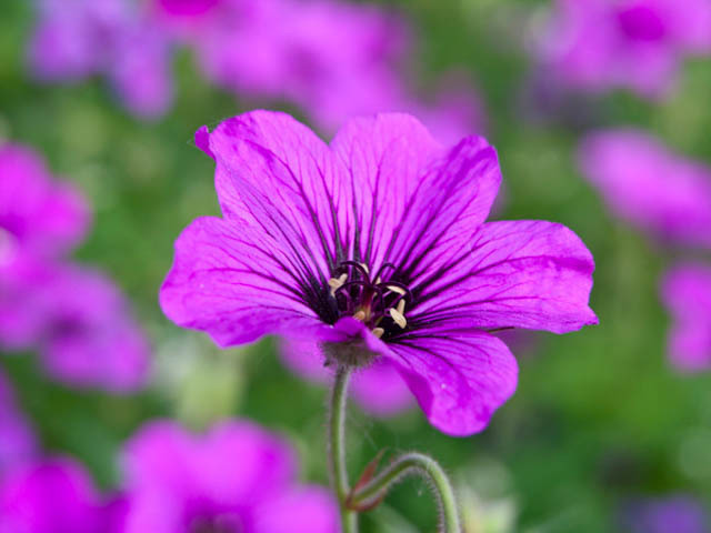 geranium flower essential oil uses pop shop america